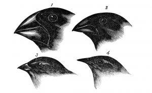 عصافير داروين تشارلز داروين أصل الأنواع نظرية التطور  جزيرة غالاباغوس