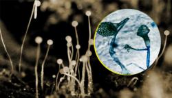 الفطر الأسود العفن الأسود الفطر العفني فطر الغشاء المخاطي كورونا
